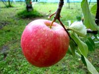 Apple (Chiaki)