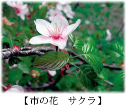 Flower cherry blossoms of city